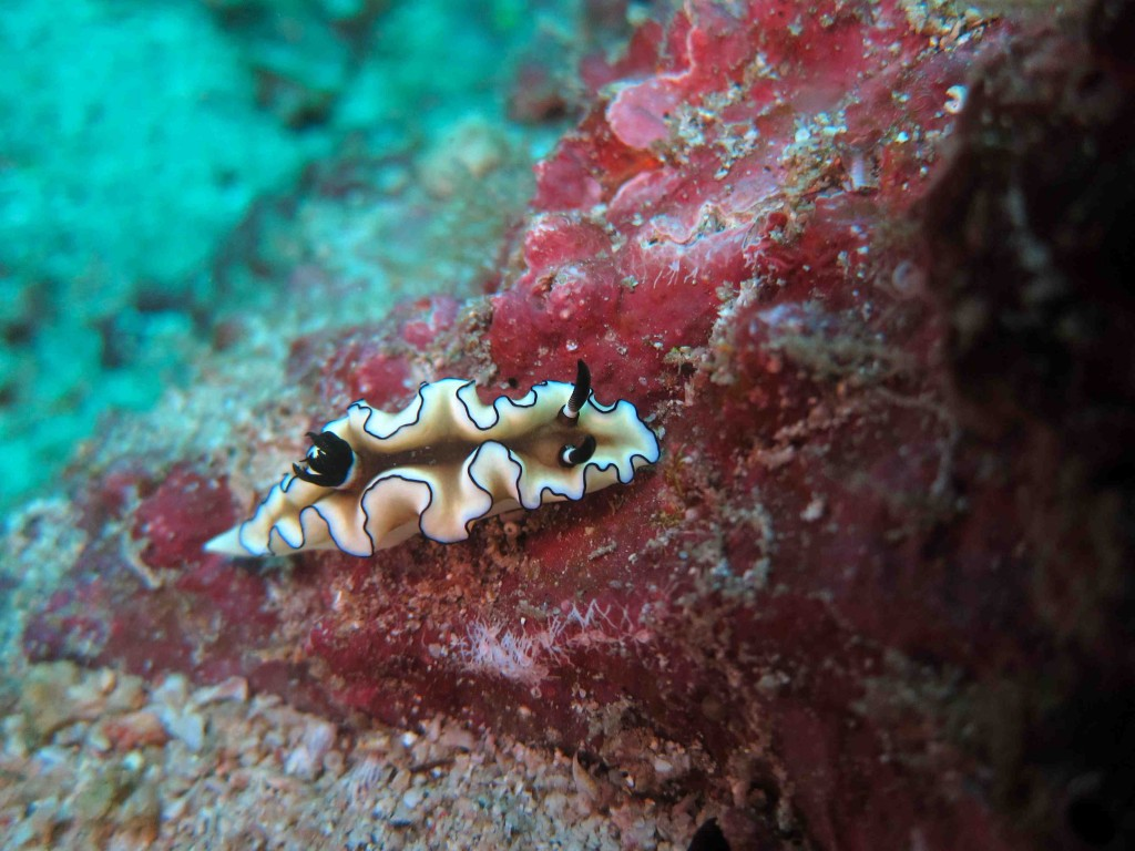 A nudibranch: one of the things you see underwater from the bio-diverse marine life in the Philippines.