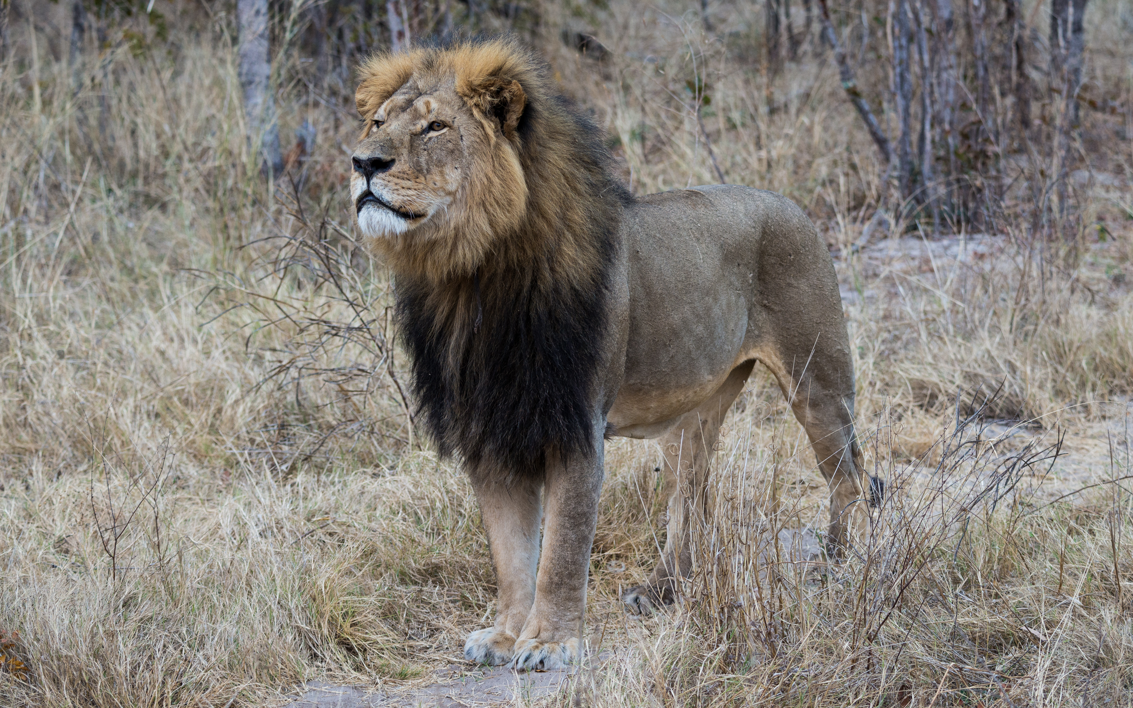 Cecil, the beloved lion of Zimbabwe, ManAboutWorld gay travel magazine
